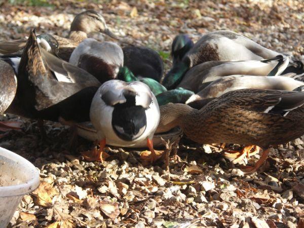 Just a bit Quackers!