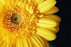 Yellow Gerbera Daisy 1