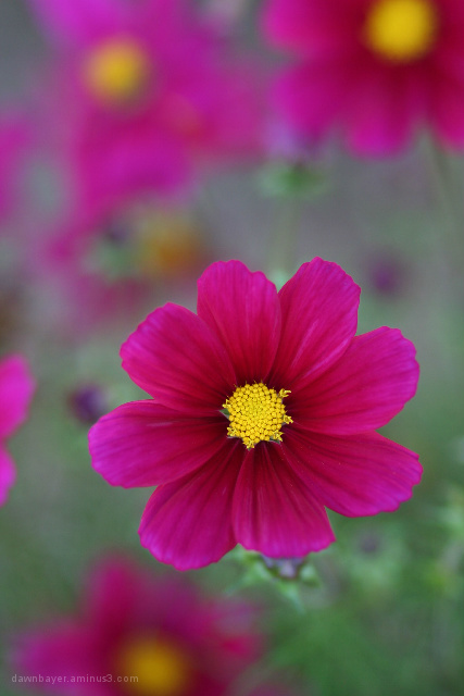 Cosmo Flower III
