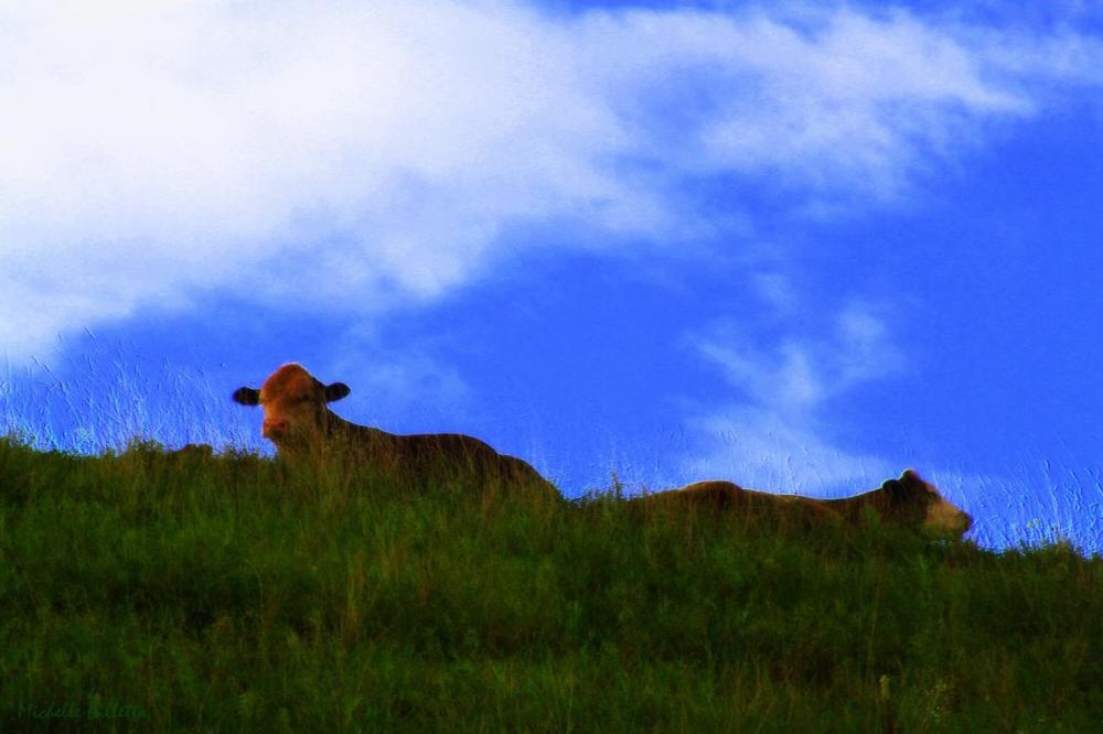 Two Cows on a Grassy Hill