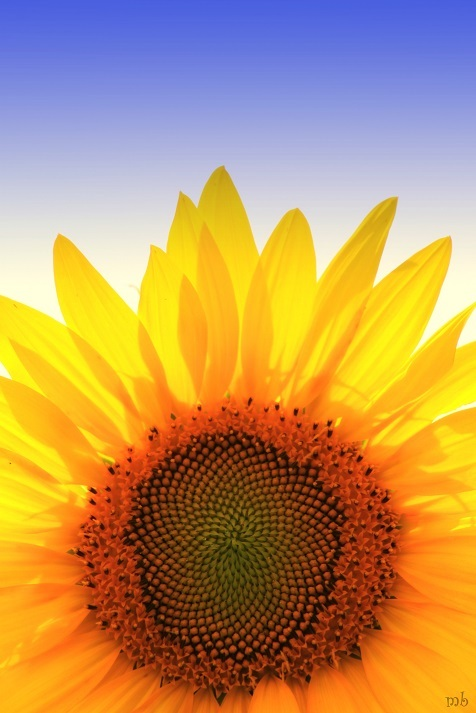 Sunflower Time