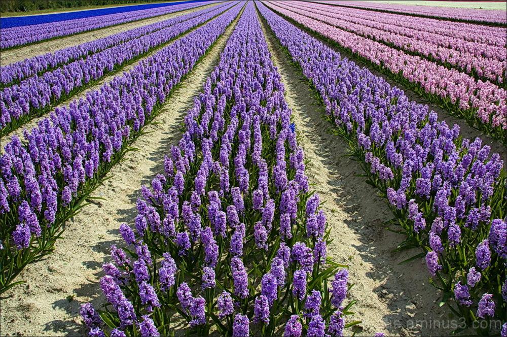 Fields of Hyacinths.... L'intrus!