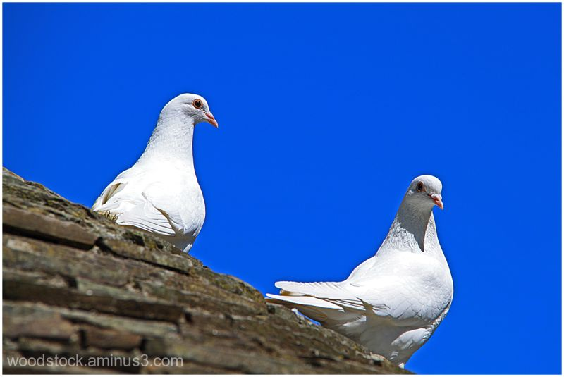 Doves on a roof !