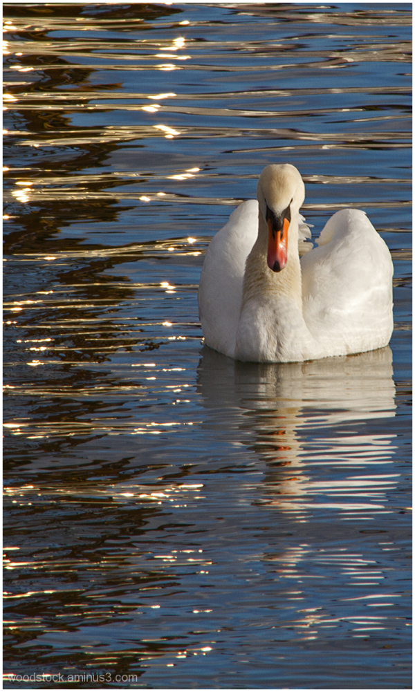 Another Swan ..............