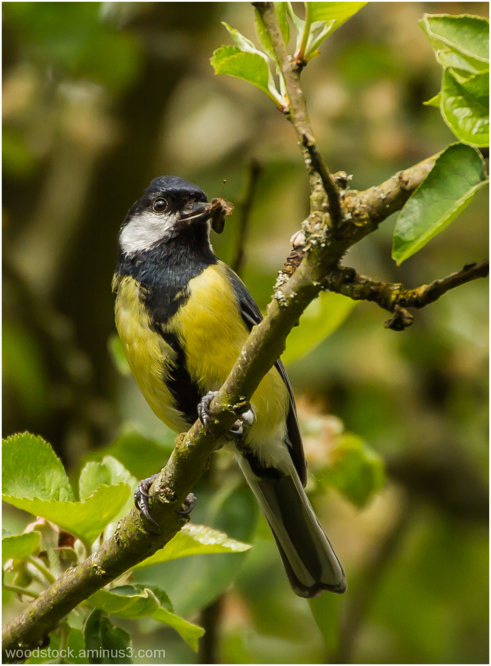 Great Tit in Tree With Insect to Feed It's Young
