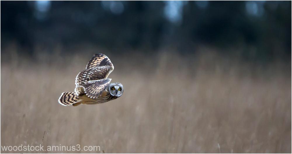 Short Eared Owl In Flight
