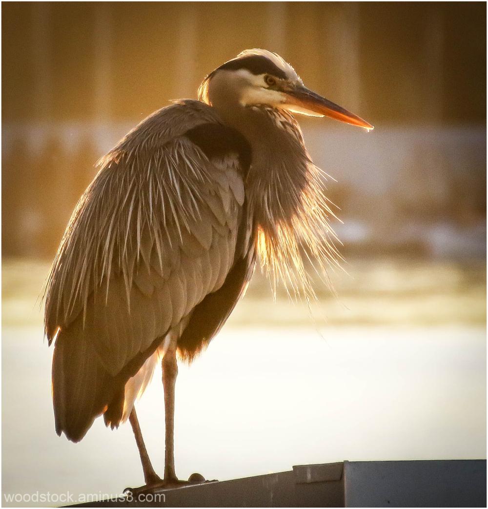 Dusky Heron