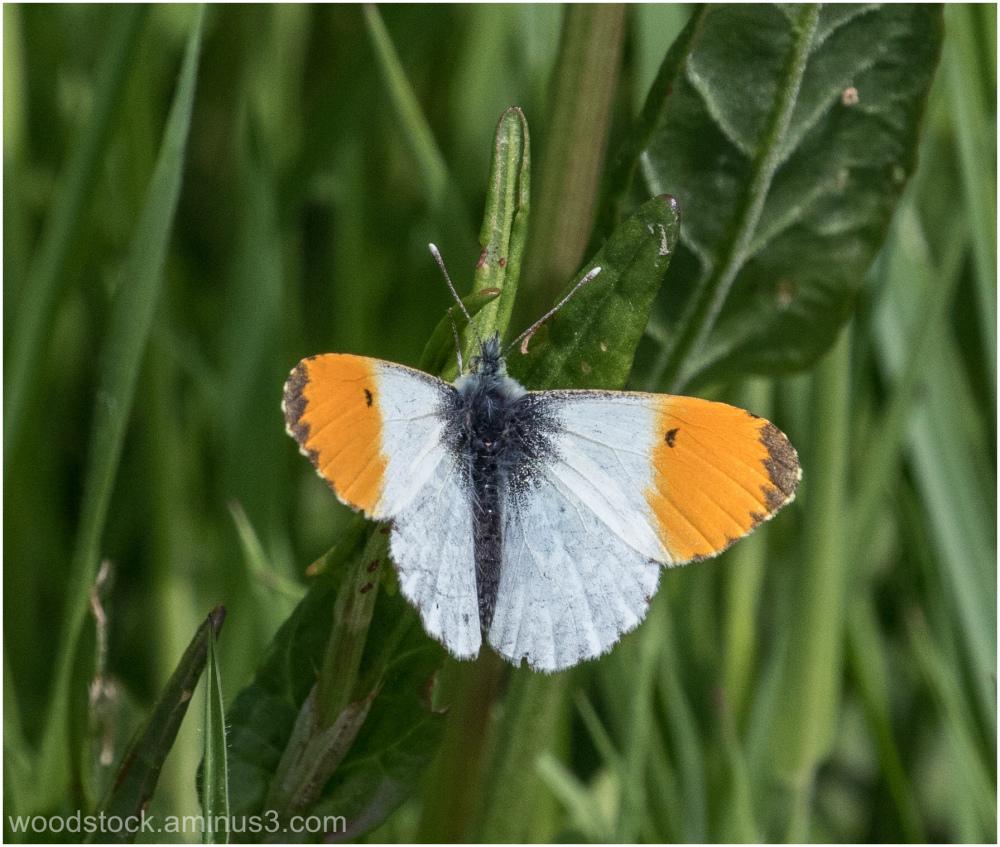 Orange Tipped Butterfly