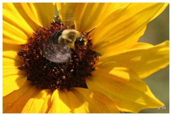 Westham Island bumble-bee