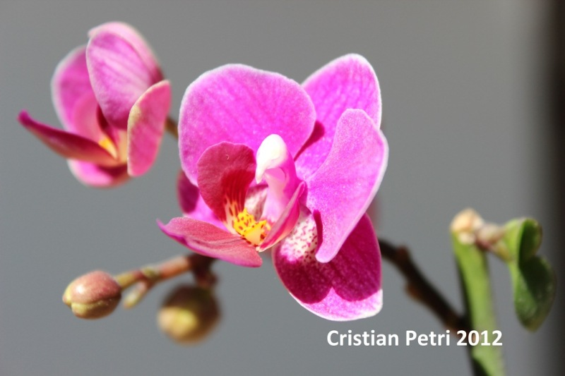 a little pink orchid