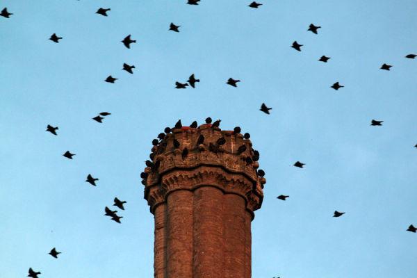 starling migration