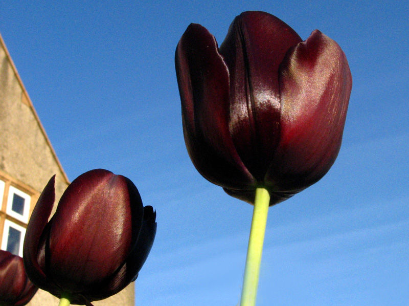 tulips unusual