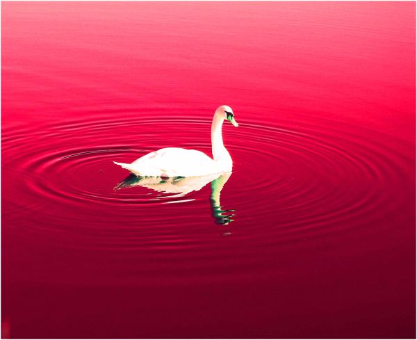 Swan In Red