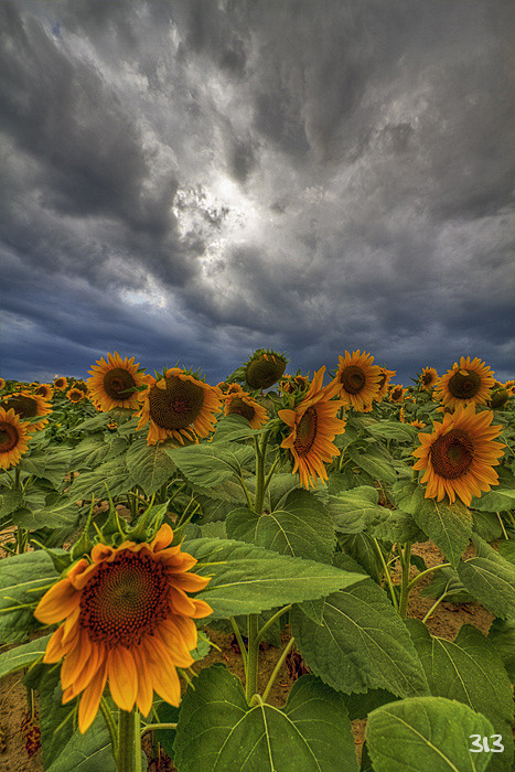 Sunflowers II HDR