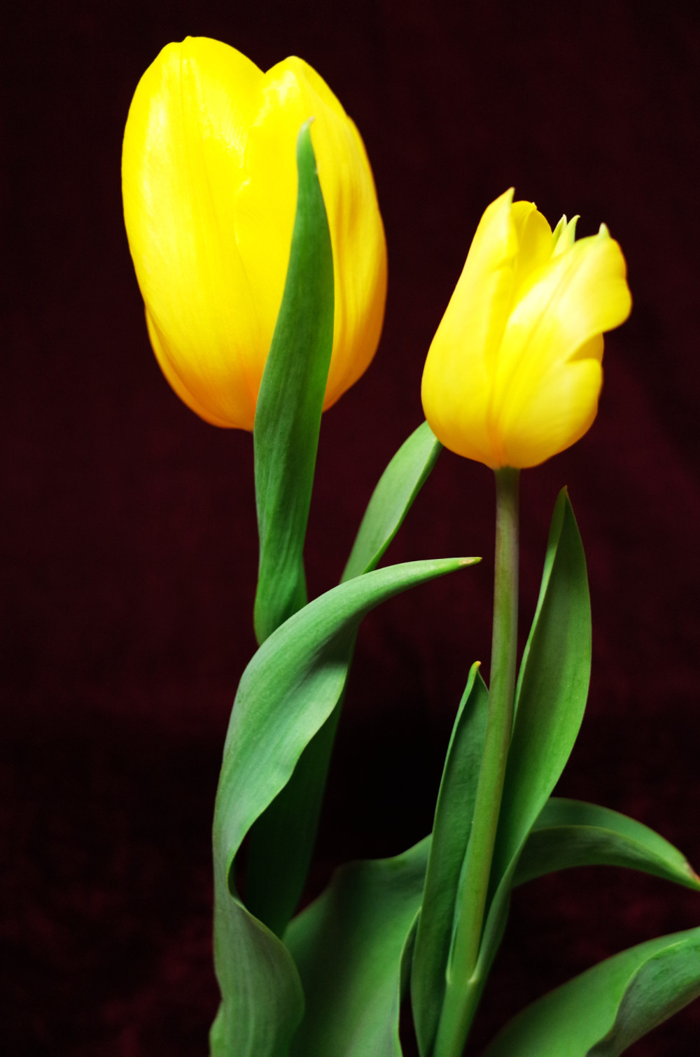 2 yellow tulips like 2 lovers hugging each other