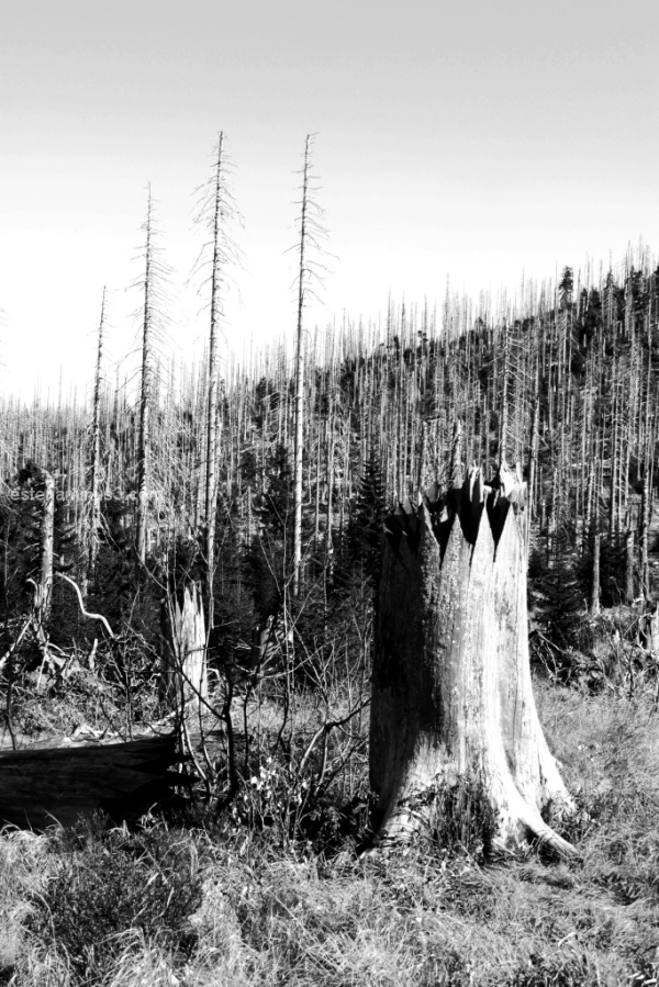 bark beetle vs. lusen