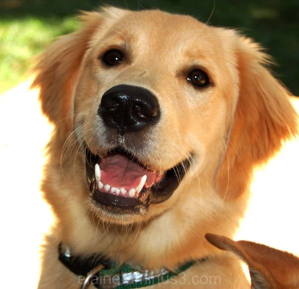 dog, golden retriever
