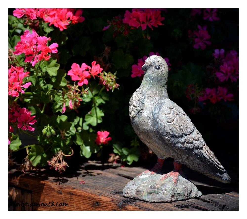 stone pigeon