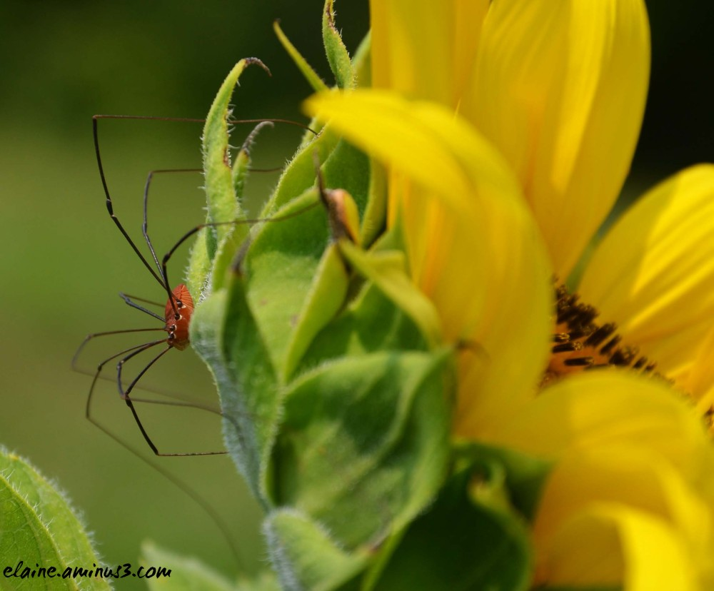 spider on sunflower