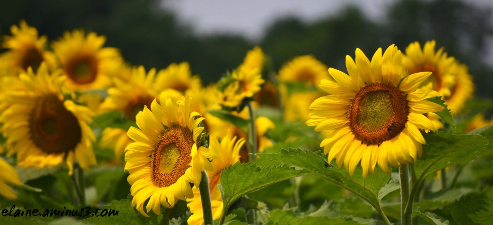 sunflowers