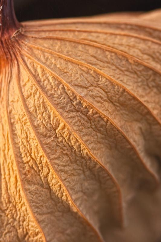 close-up of brown lines on dead lotus leaf