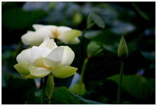 lillypad flower