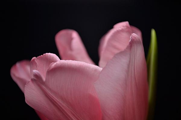Tulip series