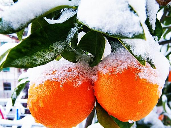 two fresh oranges...