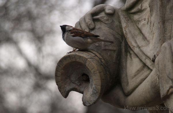 vrabie