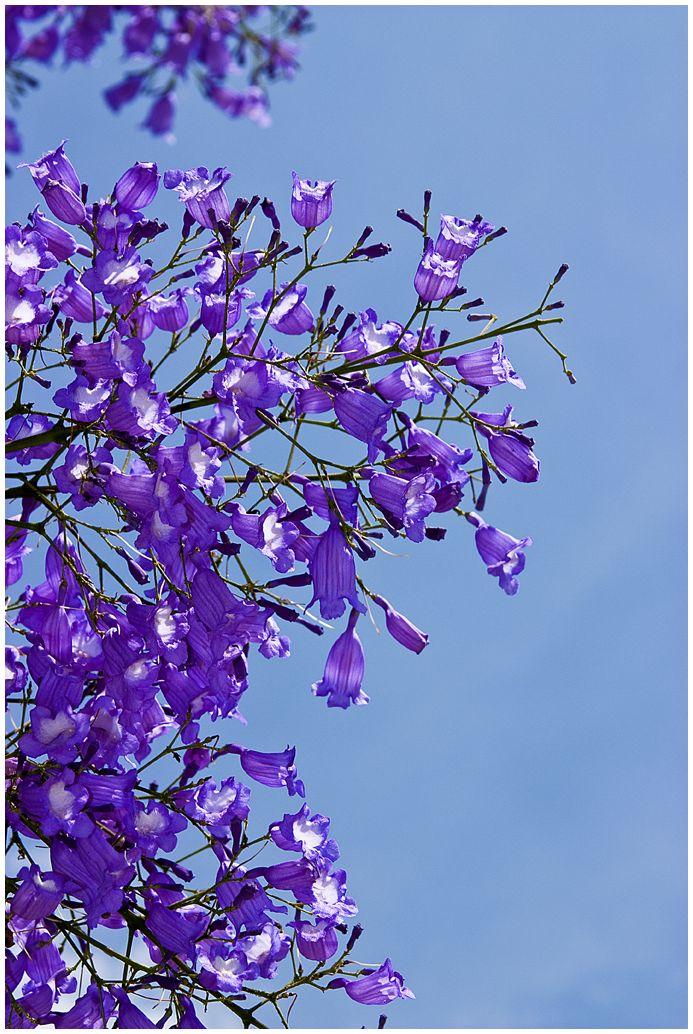Flower,Viola