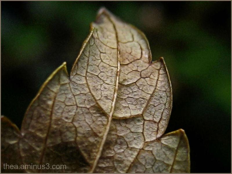 macro leaf nature