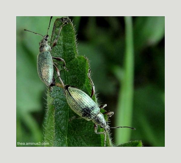 groene snuitkever purmerbos weevil macro