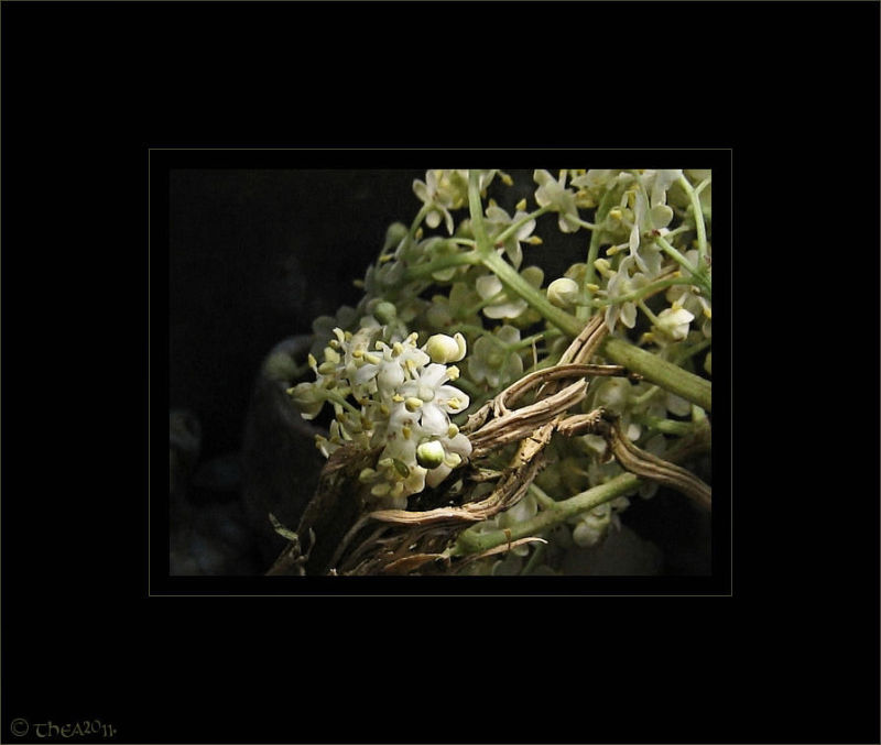 elderflower vlierbesbloesem macro