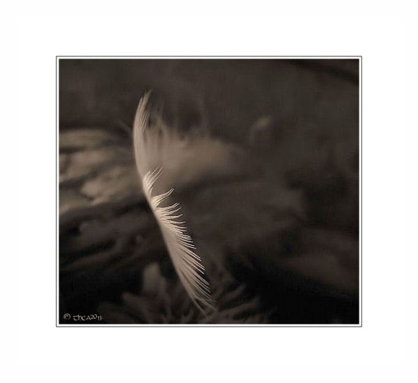 feather texture macro abstract sepia