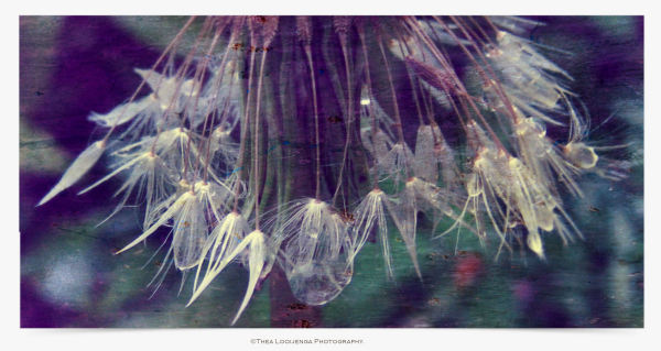 dandelion seed drop macro processed