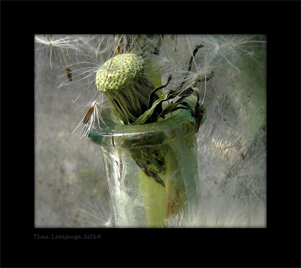 macro dandelion seeds