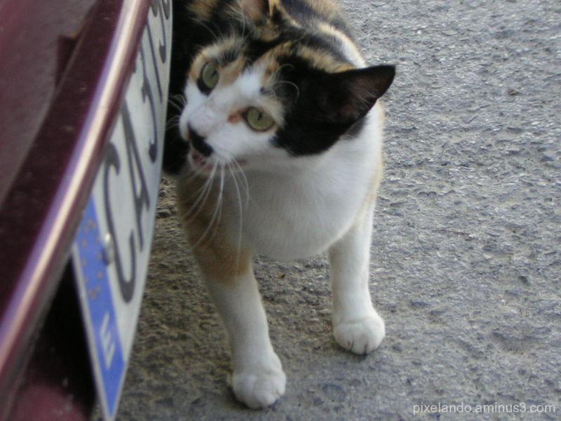 gato mirando matrícula de coche