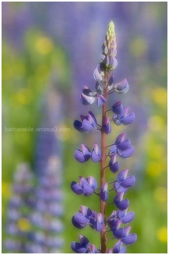 Single Lupine from a field of many