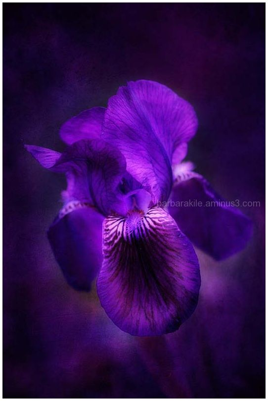 Texture overlay of purple iris