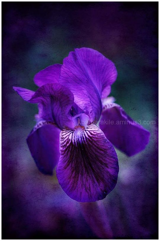 Purple Iris Revisited