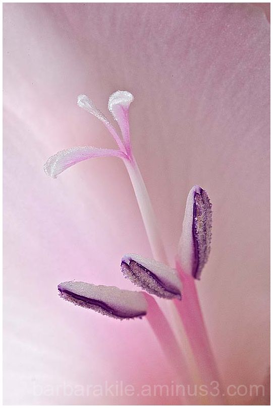 Deep inside a gladiolus