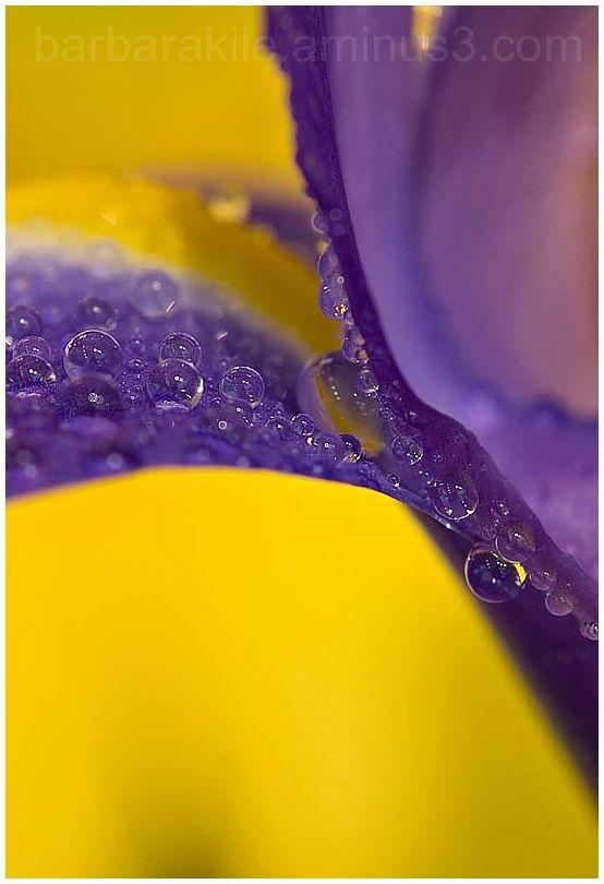 Water droplets on iris macro