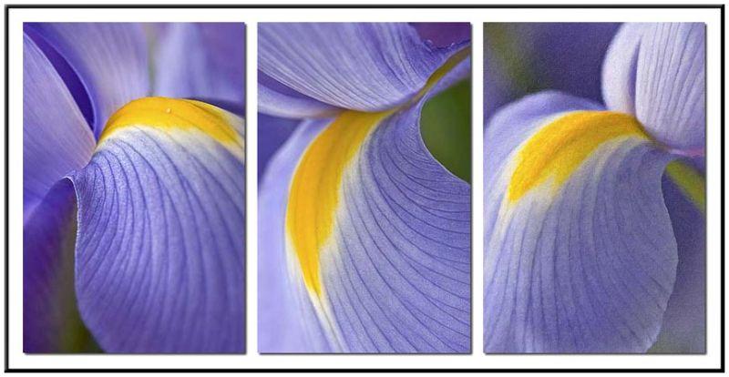 Triptych of purple iris