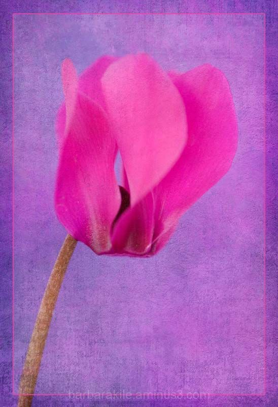 Texture overlay of cyclamen