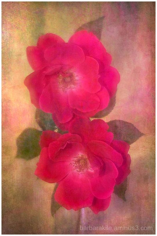 texture overlay of red roses