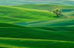 Lone Tree in the Palouse