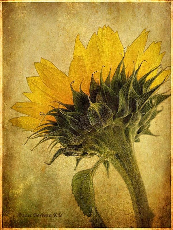 iPhone sunflower with sketch and texture blends