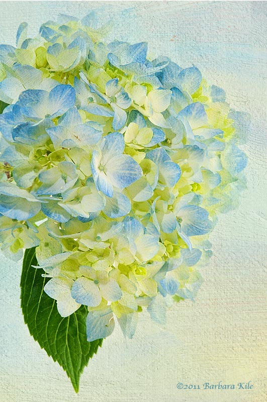 Hydrangea and texture