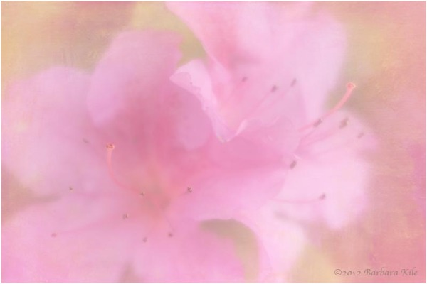 Lensbaby capture of azalea