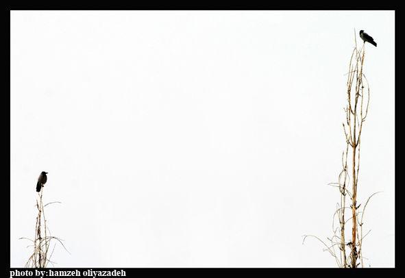 دوئل پرندگان